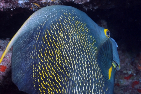 angel fish close