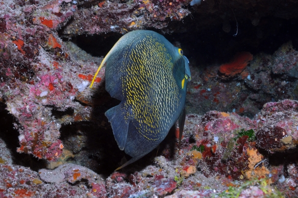 angel fish in cave