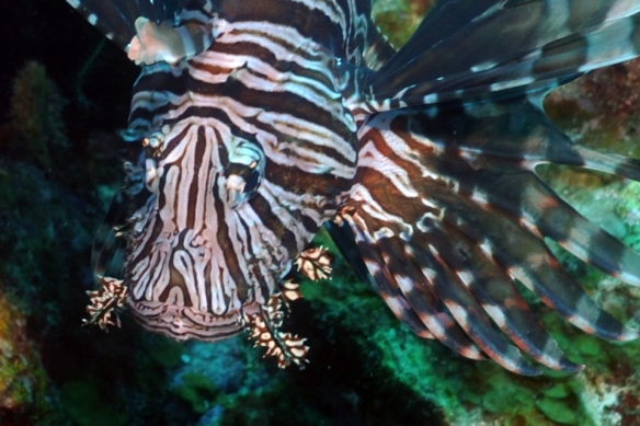 lion fish close