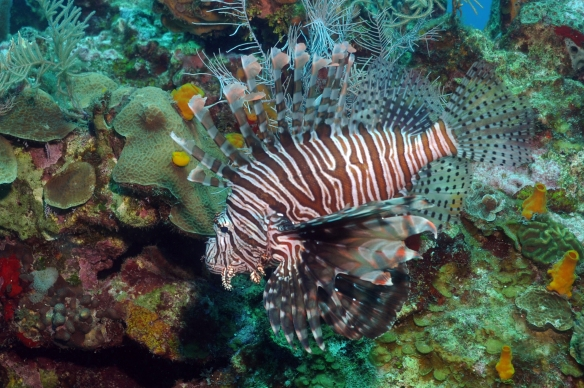 lion fish de lado 2