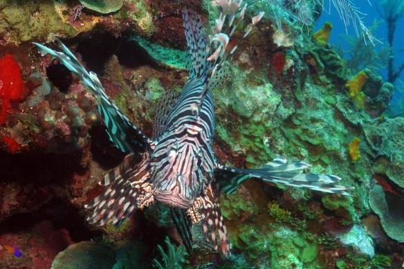 lion fish frontal