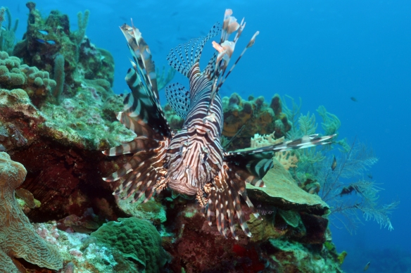 lion fish nu frontal