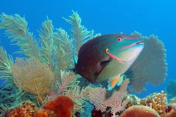 parrot fish de lado