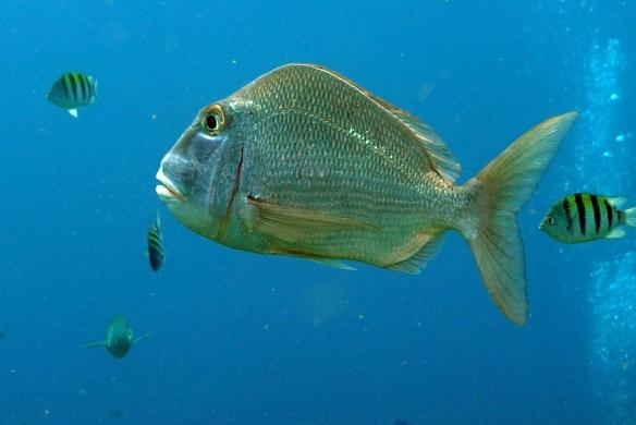 peixe arnaldo