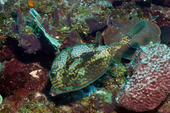 peixe capeta