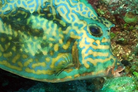 peixe capetinha close