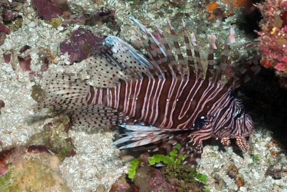 peixe leao