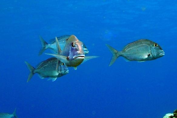 peixes arnaldos