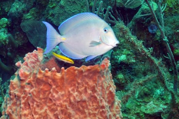peixin bicudo