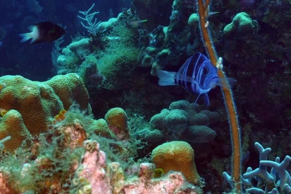 peixinho azul