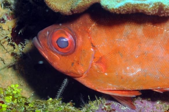 peixinho zoiudo