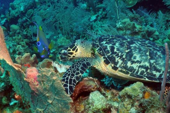 turtle e ciliares